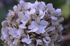 Winter (M Chiara B) Tags: 7dwf flora hydrangea