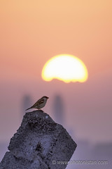 Herald - The New Beginning (Photonistan) Tags: sunrise sun bird sparrow earlymorning herald thenewbeginning morninghues light colors rock photonistan magenta jeddah desert success lesson failure yellow orange blue nikon d7100 zoomlens 70300 red nature motivation photography flickr explore groups