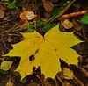 Yellow litter (МирославСтаменов) Tags: russia kaluzhskiye forest leaves foliage litter maple acer fall autumn