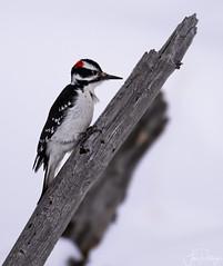 Hairy Woodpecker In the Snow (capemountain) Tags: yellowstonenationalpark bird hairywoodpecker