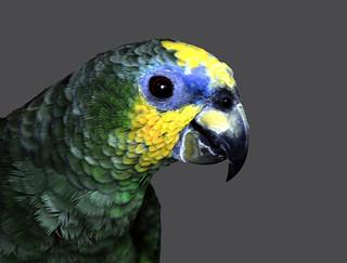 _DSC0069 Parrot