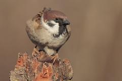 Passera Mattugia (Passer montanus) (Marcello Giardinazzo) Tags: passeramattugia birds bird avifauna wild uccelli