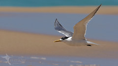 Crested Tern (VS Images) Tags: crestedtern terns thalasseusbergii laridae bif birdsinflight flight beach water waterbirds birds bird birding feathers wildlife wildlifephotography animals avian australianbirds australianwildlife australia nsw nature ngc naturephotography getolympus m43 vsimages vassmilevski olympus olympusau