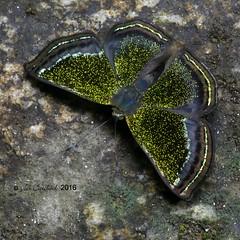 Caria chrysame (LPJC) Tags: quitacalzones manuroad manu peru 2016 lpjc butterfly metalmark raynox cariachrysame