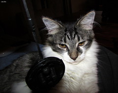A Lil' Tude (Lisa Zins) Tags: lisazins kittens mainecoonmixkittens feline cat petsandanimals pets animals petadoption elijah mainecoonmix face kittenface macrocatface furnishings earhair cameracover macro 2018 catface tn tennessee