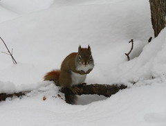 Red squirrel spotted on a winter hike (Sean_Marshall) Tags: milton halton hiltonfalls hike winter redsquirrel squirrel ontario conservationarea
