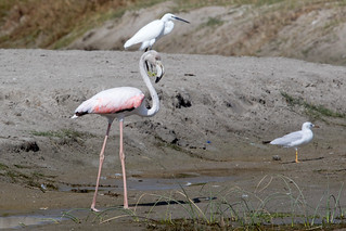 Immature Greater Flamingo at Taqah S24A5408