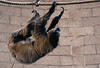 Sloth (littlestschnauzer) Tags: sloth chester zoo nature 2018 visit active ropes climbing upside down cute adorable furry