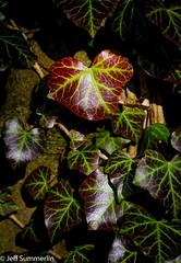 English ivy (Jeff Derbys) Tags: ivy hedera cromfordcanal