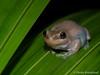 Desert Tree Frog - Litoria rubella (paulajie) Tags: desert tree frog litoria rubella naked red tropical queensland australia cairns wildlife nature fauna olympus omd omdem1markii amphibian herp herpetology herping