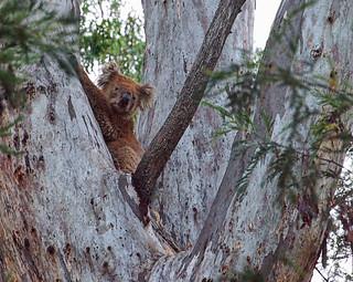 Koala in gum tree.