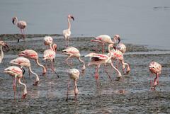 Flamingos at mudflats MKI_9724  1-2000 sec at f - 5.6 400 mm  1 EV ISO 640 Shutter priority Pattern  _ (mahesh.kondwilkar) Tags: flamingo flock migratorybirds mumbai handheld mudflats rakliwpix naturephotography nature avifauna birds