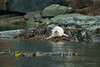 Lonely white seal (grahamvphoto) Tags: seal animal wildlife canada vi bc vancouverisland britishcolumbia nature white rocks tour travel