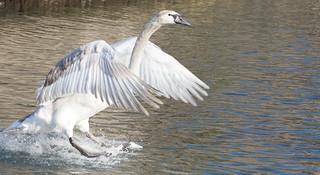 Young Swan Landing