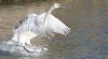 Young Swan Landing (Mukumbura) Tags: swan cygnet young adolescent muteswan sprint running takeoff water splash splashing sprinting bird wildlife wings wingspan feet speed action determination perseverance agility power cygnusolor wells somerset nature britain flight flying landing