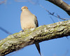 The View from the Tree (kendoman26) Tags: bird dove mourningdove fuji fujifinepix fujifinepixs1 bridgecamera