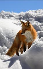 #fox https://t.co/7PvTuTzj4r (hellfireassault) Tags: foxes fox httpstco7pvtutzj4r q foxlovebot january 09 2018 0400pm