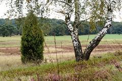 De Lüneburger Heide en berkenbomen, ze zijn onafscheidelijk. (Ervanofoto) Tags: ervanofoto nikon coolpixp7700 coolpix duitsland deutschland allemagne germany niedersachsen nedersaksen bassesaxe lowersaxony lüneburgerheide lueneburgerheide niederhaverbeck naturpark natuurpark naturschutzgebiet naturschutz heide heath lande suhorn suhornhohenrücke berk birch birke wümme haverbeeke