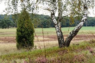 De Lüneburger Heide en berkenbomen, ze zijn onafscheidelijk.