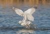 Angel Wings (Linda Martin Photography) Tags: dorset rspb wildlife gull nature larusargentatus birds herringgull weymouth uk radipolelake naturethroughthelens alittlebeauty coth ngc coth5