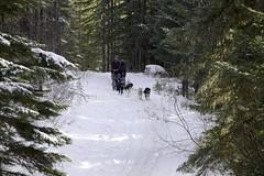 IMG_8260 (zawaski -- Thank you for your visits & comments) Tags: dogsledding fun zawaski©2018 snowwinter maddogsandenglishman boundry ranch ©2019robertzawaski ©2019 robert zawaski ©2019zawaski finephotography photog ambieantlight beauty