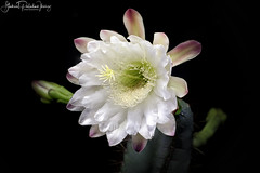 Cereus forbesii (Gabriel Paladino Photography) Tags: cereus forbesii plantae magnoliophyta magnoliopsida caryophyllidae caryophyllales cactaceae cactoideae cereeae validus piptanthocereus night bloom natural nature vegetal flower flor blooming crasa planta plant suculenta cactus cacti succullent nightblooming scientific classification angiosperms eudicots uruguay flora blackbackground canon 77d 9000d venus laowa 60mm 2x ultramacro