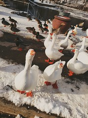 What's for lunch? (Aunt Owwee) Tags: 365the2018edition 3652018 day18365 18jan18 geese ducks