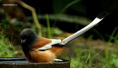 IMG_6373 Rufous Treepie (Dendrocitta vagabunda) (vlupadya) Tags: greatnature animal bird aves fauna indianbirds eufous treepie dendrocitta kundapura karnataka