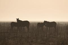 Winter horses (ramosblancor) Tags: naturaleza nature animales animals caballos horses marisma marsh paisaje landscape luz light humedad humidity contraluz backlight invierno winter doñana andalucía españa spain