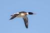 Red-breasted Merganser, male, Brant Point, ACK (LeeDunnPhotos) Tags: bif brantpoint frozen goodlight harbor ice male redbreastedmerganser sun
