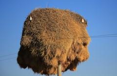 Sociable Weaver birds nests - Namibia (12) (ailognom2005) Tags: sociable weaver birds bird nests birdsnests namibia africa sociableweaverbird