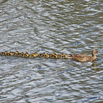 Female Mallard swimming, followed by her 13 chicks thumbnail