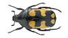 Plaesiorrhinella mhondana(Oberthür, 1880) (Easyparadise) Tags: beetle collection coleoptera metal color insect nature animal scarab specimen macro entmology museum cetoniinae biodiversity 昆虫 甲虫
