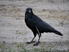 Little Raven (James_Preece) Tags: littleraven corvidae corvusmellori m43 leicadgvarioelmar100400mmf4063 panasoniclumixdcgh5 raven crow corvid