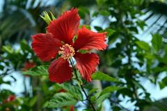 WOL Calauan Laguna Philippines Day 2 (10) (Beadmanhere) Tags: philippines flowers