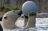 polarbear Blijdorp BB2A8725 (j.a.kok) Tags: ijsbeer polarbear blijdorp bear beer ursusmaritimus predator arctic noordpool northpole mammal animal zoogdier dier