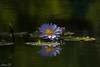 Fond memories of colors (Irina1010) Tags: pond autumn waterlily blue light shadow reflections beautiuful nature flower aquatic outdoors canon gibbsgardens coth5