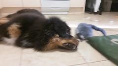 23795892_10214464109983474_7955507220069126486_n (natedetienne) Tags: ash tibetan mastiff puppy tm