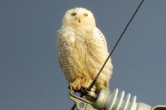 Snowy Owl (cullerfuls) Tags: bird buboscandiacus arctic