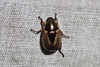 Mimela sp. (GeeC) Tags: animalia arthropoda beetles cambodia coleoptera insecta kohkongprovince mimela nature rutelinae scarabbeetles scarabaeidae scarabaeoidea tatai