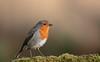 Robin (Colin Rigney) Tags: nature wildlife colinrigney birds avian outside outdoors robin robinredbreast scottishwildlife scotland canon