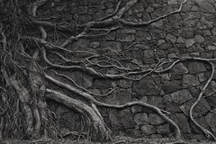 Roots on stone wall (Sam-Henri) Tags: auckland new zealand mountain eden tree black white stone wall nature root wood