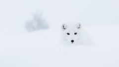 Arctic fox whiteout (CecilieSonstebyPhotography) Tags: arctic bokeh fox endangered alopexlagopus ef canon animal norway markiii whitefox langedrag eyes canon5dmarkiii snowfox ef70200mmf28lisiiusm pretty whiteout cute polarfox white specanimal