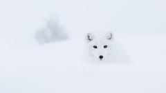 Arctic fox whiteout (CecilieSonstebyPhotography) Tags: arctic bokeh fox endangered alopexlagopus ef canon animal norway markiii whitefox langedrag eyes canon5dmarkiii snowfox ef70200mmf28lisiiusm pretty whiteout cute polarfox white specanimal