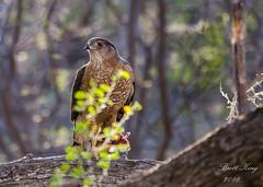 Coopers Hawk II (dbking2162) Tags: hawk coopershawk eagle birds bird birdofprey arizona wildlife nature nationalgeographic lighting beauty beautiful