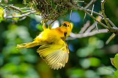 2018-02-15 (silare) Tags: clinging wings spread nest weaving yellow bird avian small black beak trees leaves branches tavetaweaver tevetagoldenweaver taveta teveta golden weaver ploceus ploceuscastaneiceps animal woodlandparkzoo zoo seattle washington