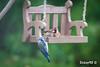 Chacun son tour et respectons la hiérarchie par la taille... (Dicksy93) Tags: img2091 chardonneret elégant cardueliscarduelis european goldfinch avian mésange bleue cyanistescaeruleus eurasian blue tit statut lc quasi menacé nature faune animal oiseau chanteur bird ave vogel uccello pájaro volatile passereau wildlife tiere mangeoire extérieur outdoor planguenoual côtesdarmor 22 bretagne brittany breizh bzh france europe dicksy93 canon eos 7d ef 100400mm
