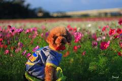 新年快樂.狗年旺旺 (藍大衛) Tags: 寵物 狗 景深 戶外 動物 貴賓狗 紅貴賓