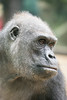 2018-02-16-13h38m38.BL7R9574 (A.J. Haverkamp) Tags: canonef100400mmf4556lisiiusmlens shindy amsterdam noordholland netherlands zoo dierentuin httpwwwartisnl artis thenetherlands gorilla sindy pobrotterdamthenetherlands dob03061985 nl