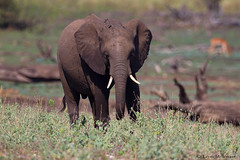 Handsome youngster (leendert3) Tags: leonmolenaar southafrica krugernationalpark africanelephant mammals wildlife nature ngc npc coth5